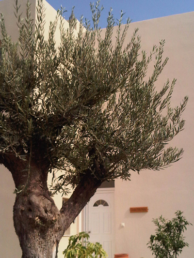Gallery. 2011olivetree